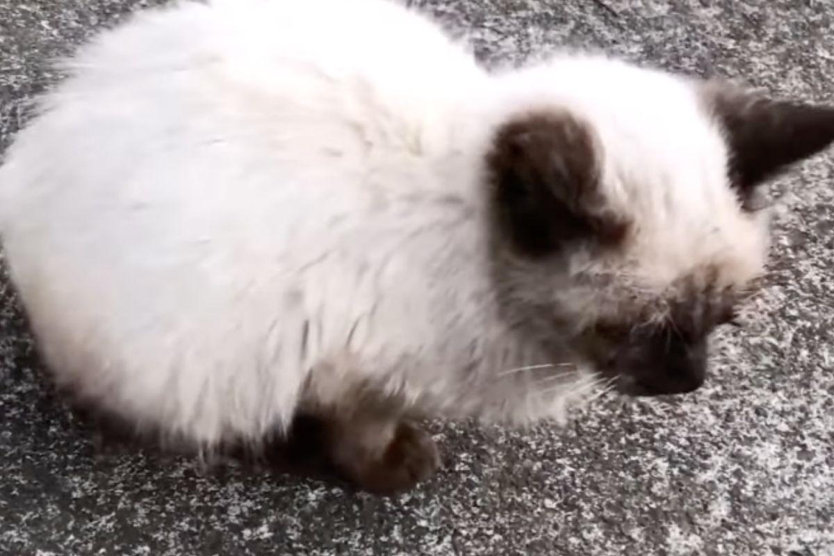 gattina siamese in colonia