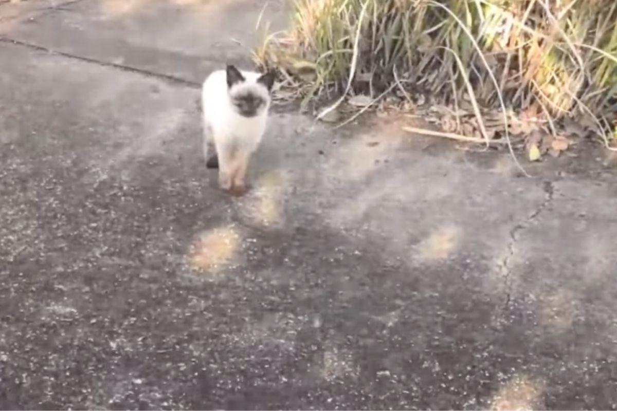 gatto siamese abbandonato