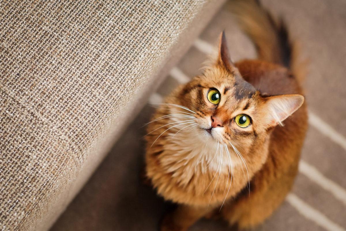 gatto somalo occhi grandi