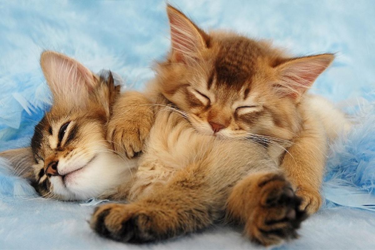 cuccioli di gatto si coccolano