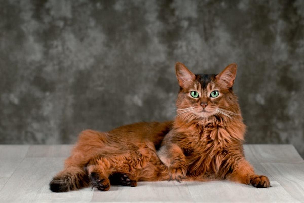 gatto somalo pelo morbido