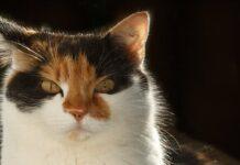 gatto tre colori