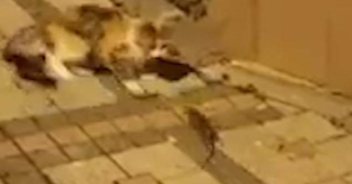 gatto cerca di prendere topo