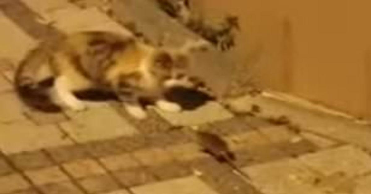 topo si ribella al gatto