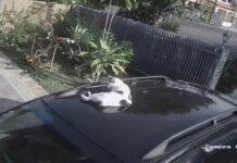 donna non si accorge che c'è un gatto sul tetto della macchina