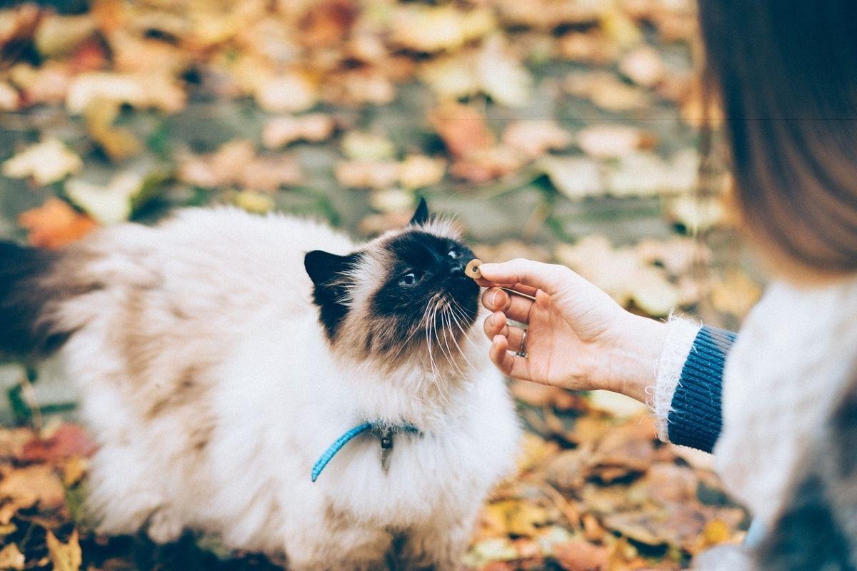 gatto mangia croccantino da una mano