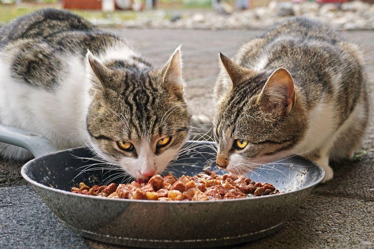 due gatti mangiano dalla stessa ciotola