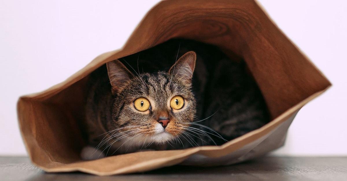 gatto dentro busta di cartone