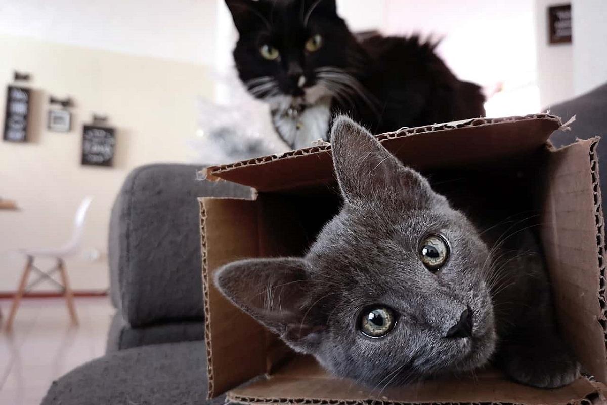 gatti che giocano con scatole di cartone