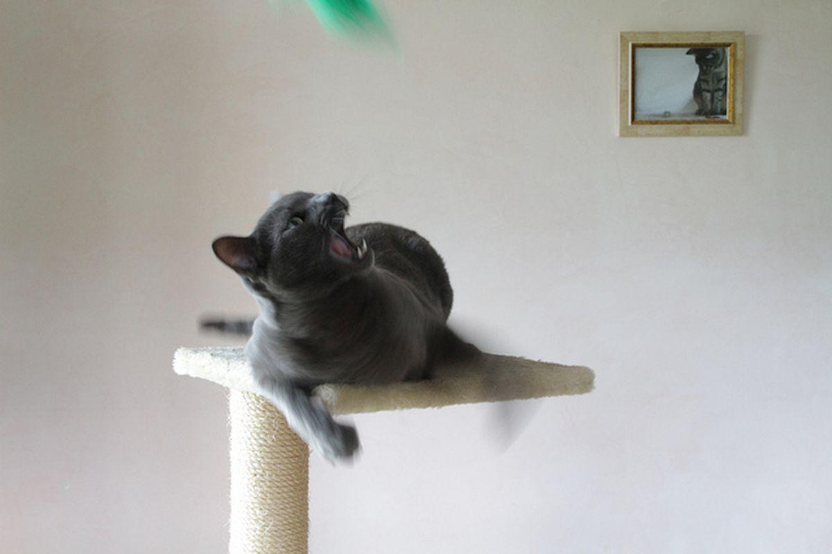 gatto che cerca di acchiappare piuma