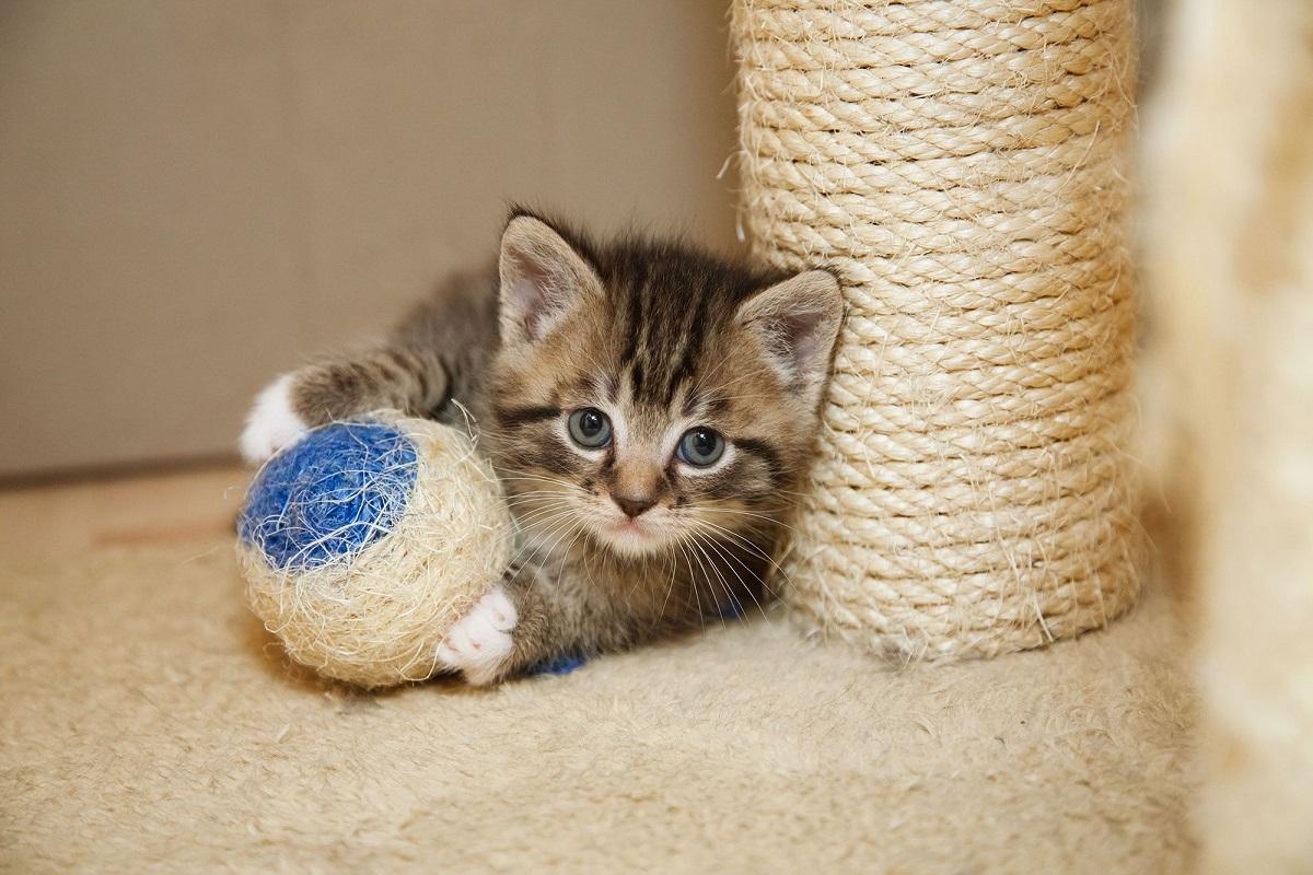 gattino con pallina di spago