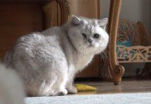 Un giorno nella vita di un gattino British shorthair