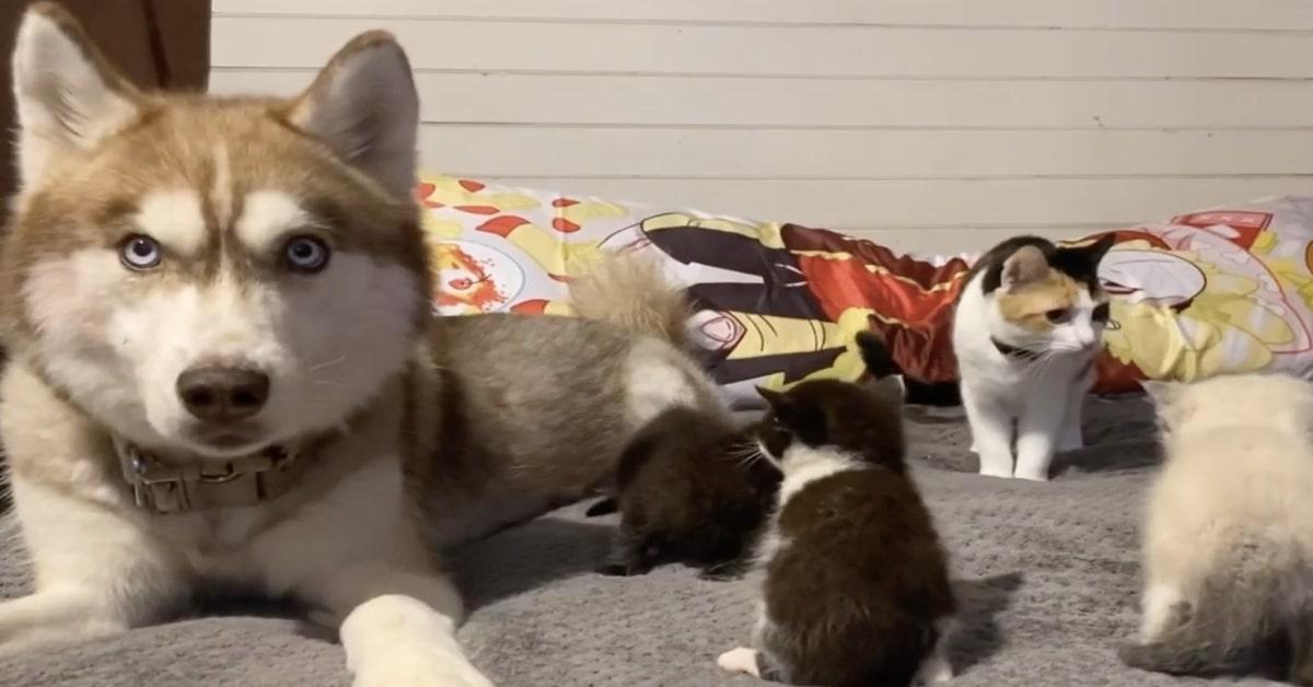 Husky mamma adottiva gattini