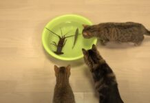 gatti aragosta confronto