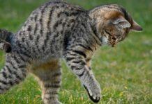 il gattino bugz fallisce il suo salto video