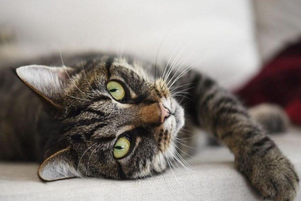 gatto rilassato