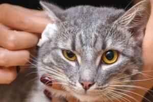 il gattino ha le orecchie puzzolenti