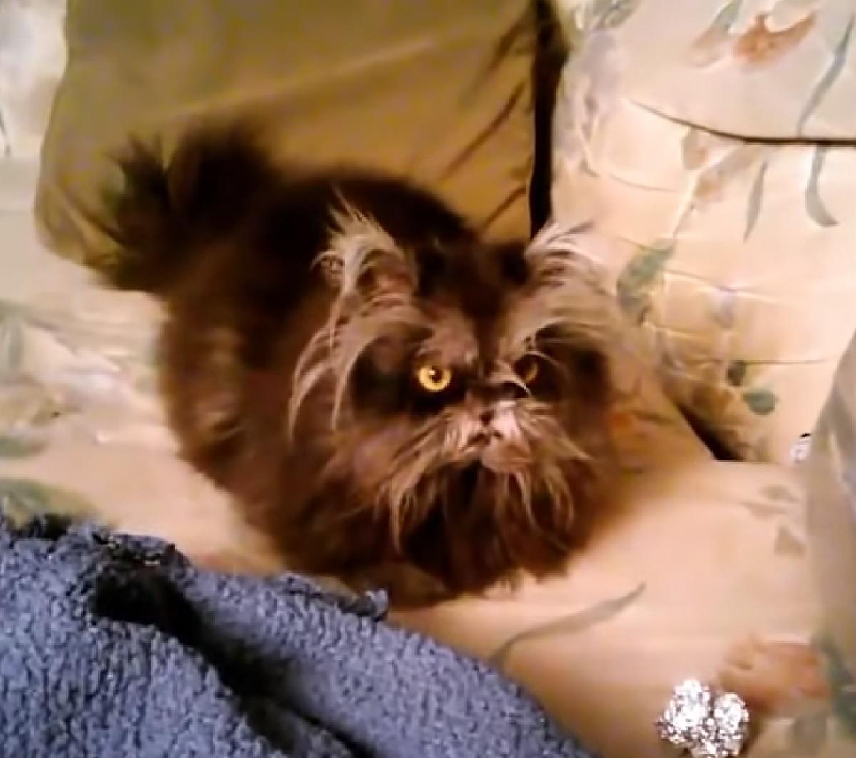 moony gattino himalayano lupo mannaro