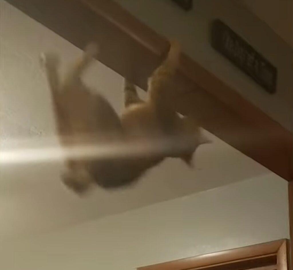 lewis gattino spider cat arrampicato