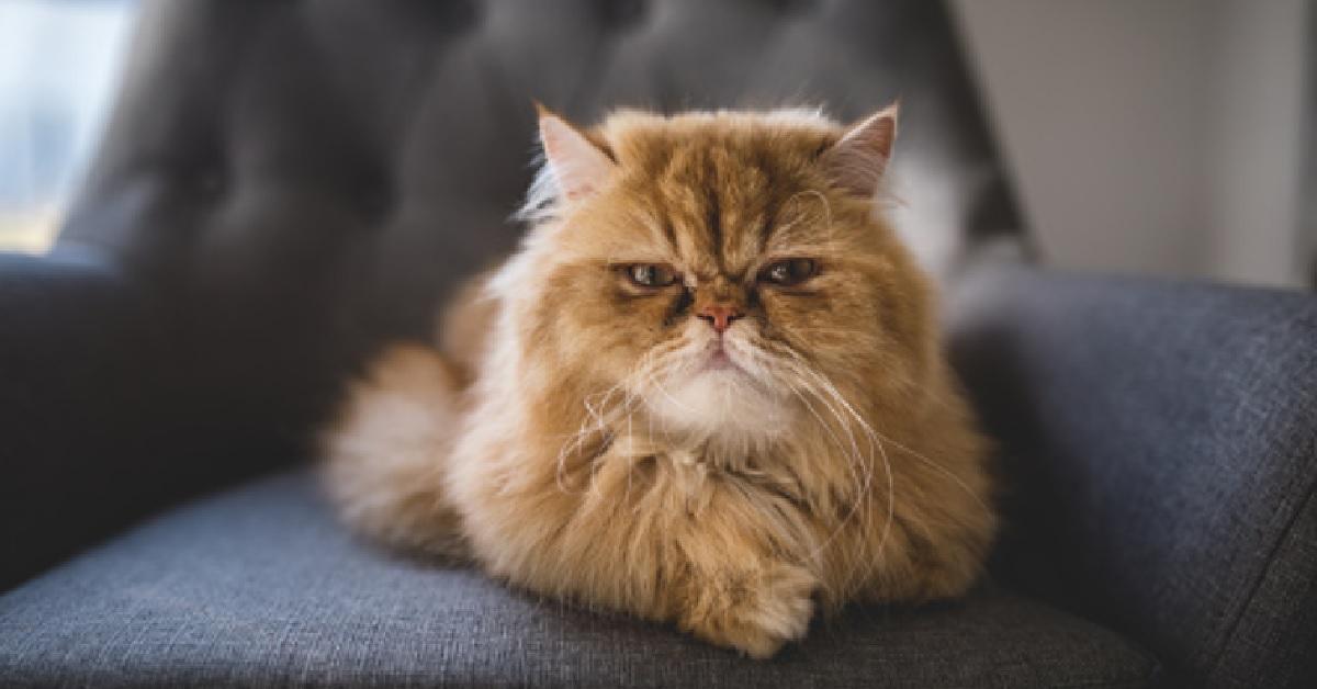 gattino persiano carattere sempre arrabbiato video