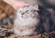 gattino persiano amante del nascondino video