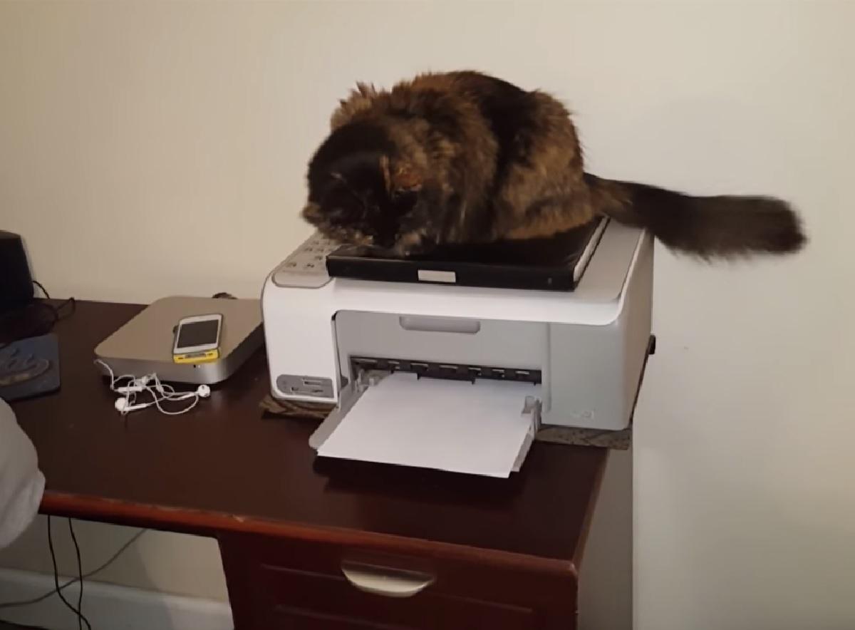gattino siberiano curioso di sapere come funziona una stampante oggetto