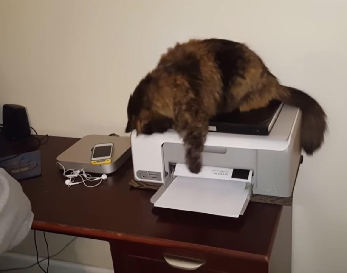 gemini gattino siberiano papà stampa