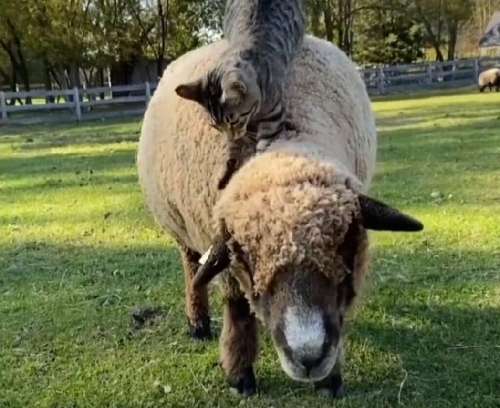 ernest gattino soriano sale sopra vello pecore