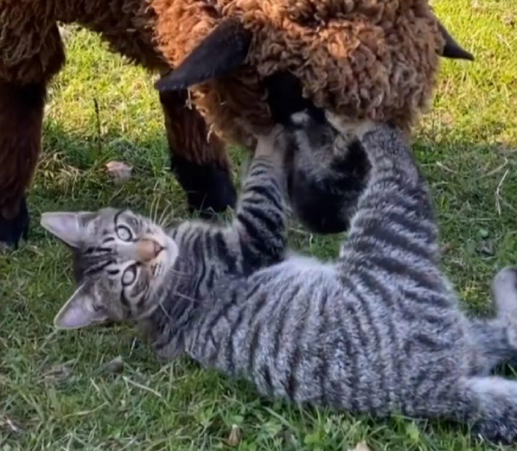 ernest gattino soriano passione fattoria