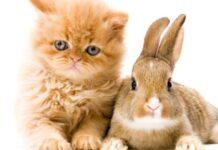 gattino tabby coniglietto stringono amicizia unica