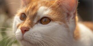 gattino tabby gioca con un fidget spinner video
