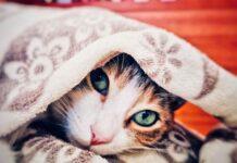 gatto dorme sotto la coperta