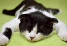 gattina mitsy adora farsi trasportare tappeto video