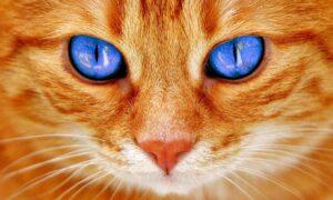 gatto arancione con gli occhi blu