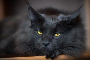 gatto nero a pelo lungo