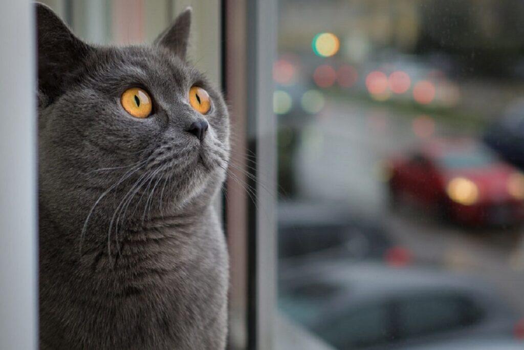 gatto guarda alla finestra