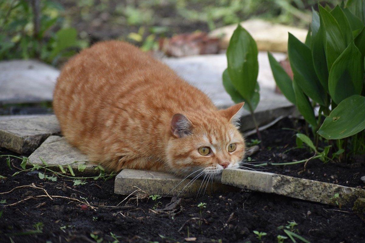 gatto pronto a cacciare