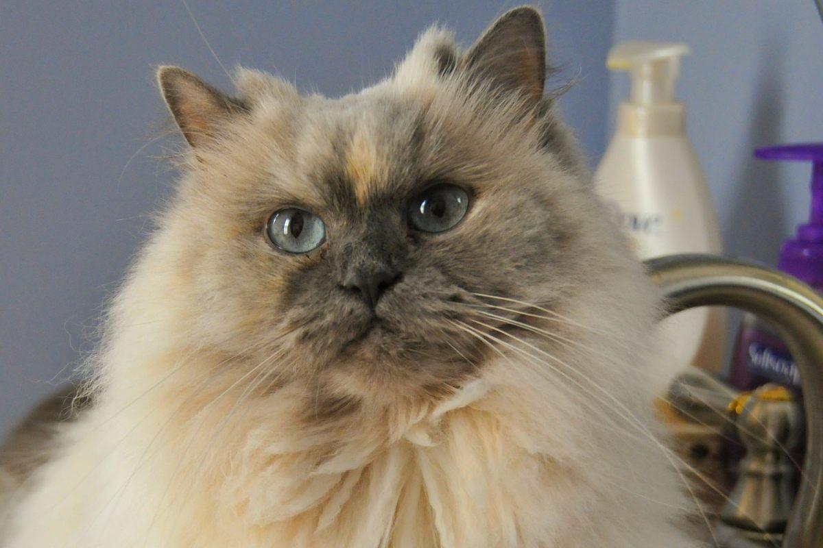 gatto a pelo lungo con gli occhi celesti