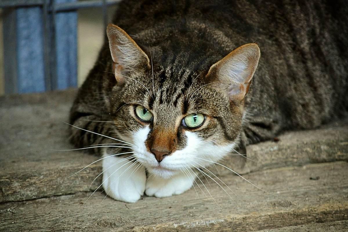 gatto tigrato che riposa
