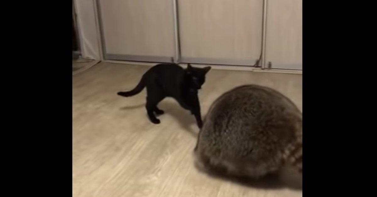 gatto infastidito da procione