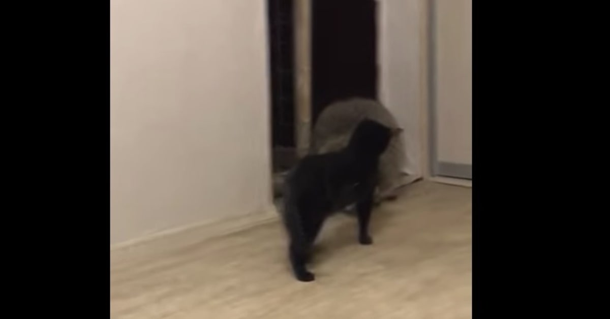 procione gioca con gatto