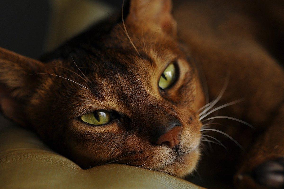 gatto abissino rilassato