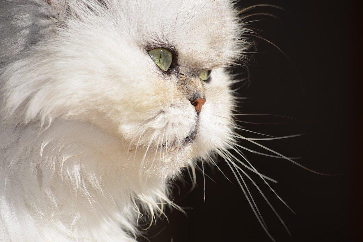gatto muso schiacciato