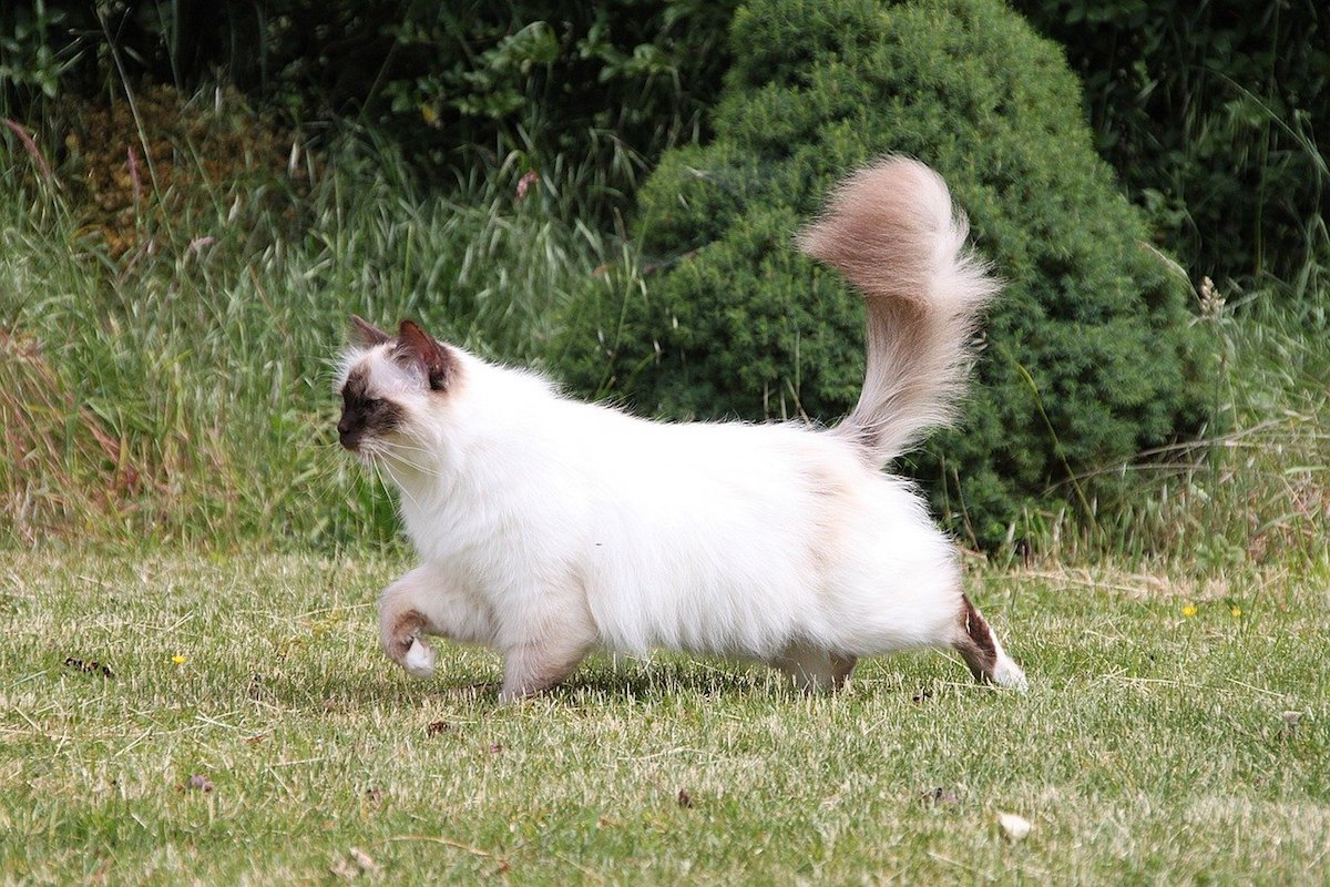 gatto birmano esplora