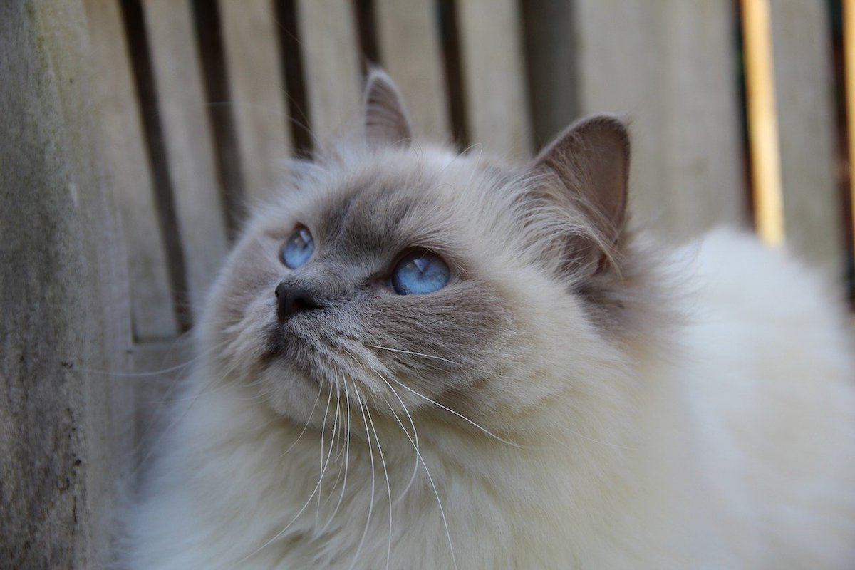 gatto occhi di ghiaccio