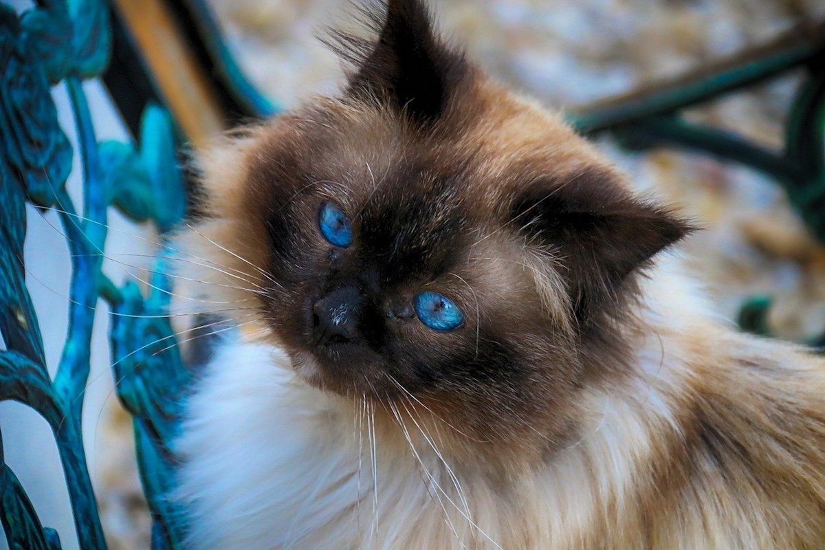 birmano occhi blu