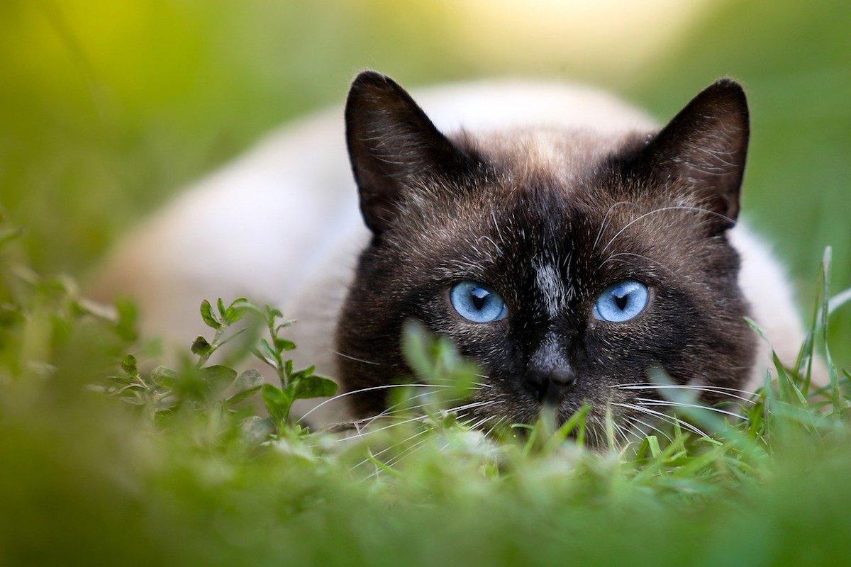 siamese si riposa nell'erba