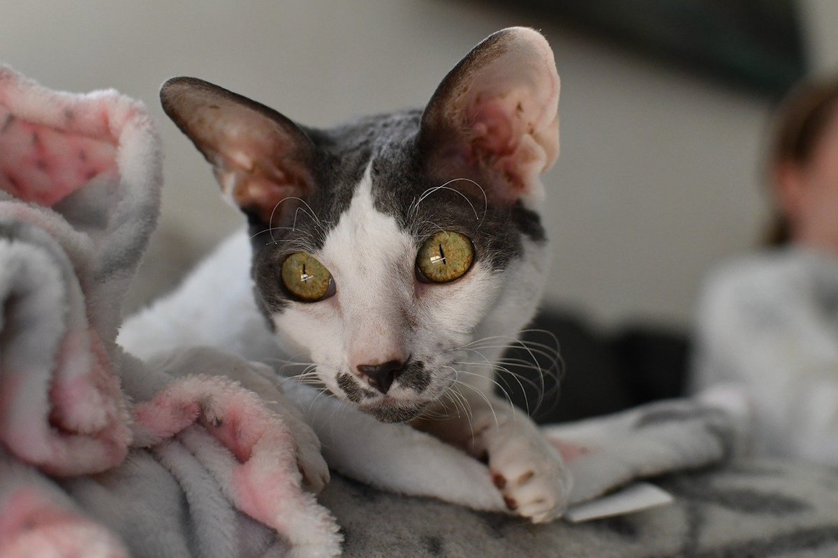 cornish rex occhi grandi