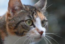 gatto con una macchia sul naso