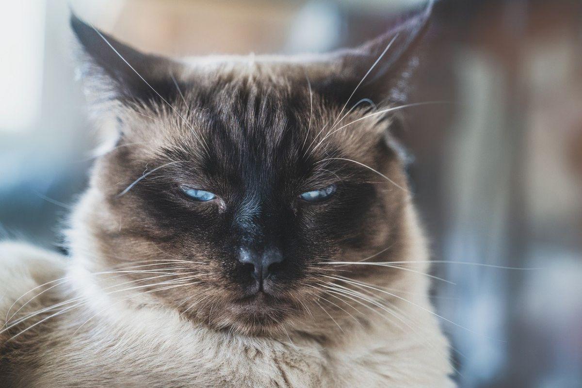 gatto ragdoll con gli occhi socchiusi